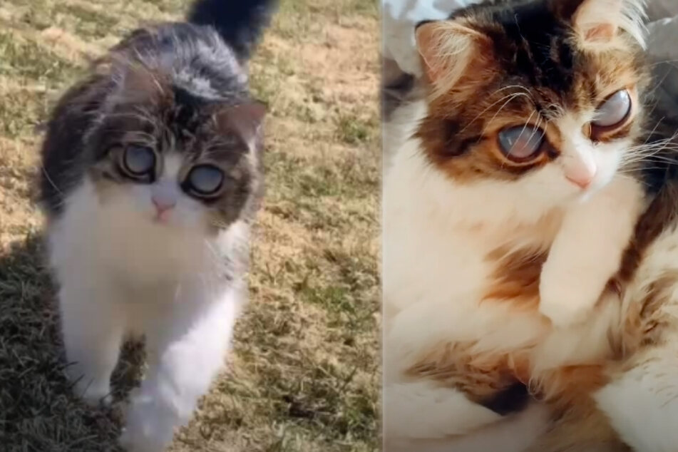 Despite his handicap, Pico behaves like a normal cat (collage).