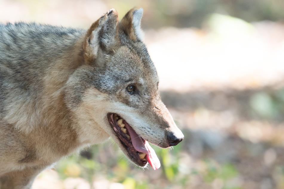 Bis dato hatte der Schäfer aus Weißig in 40 Jahren nie Probleme mit Wölfen. (Symbolbild)