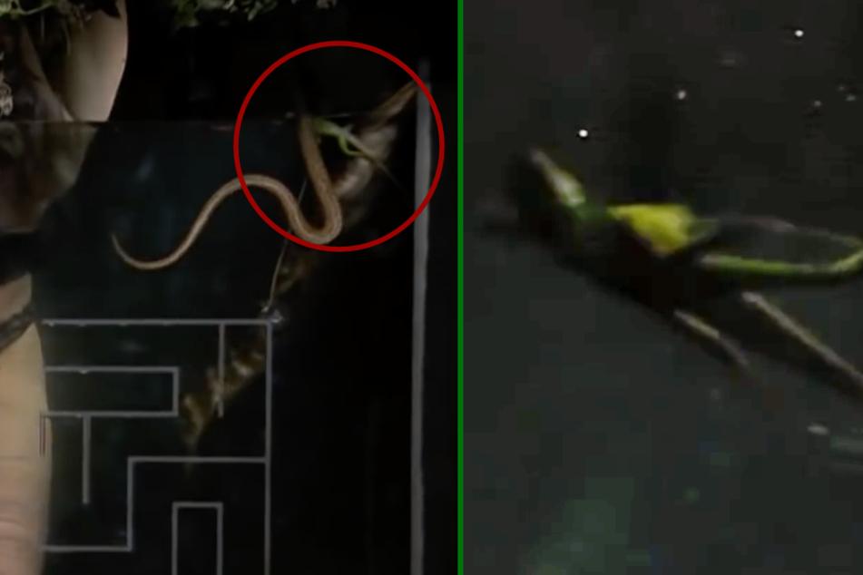 Am rechten Beckenrand schwimmt ein Krokodil, eine Schlange und die Wasserechse (Kreis). Wenige Sekunden später treibt sie regungslos mit dem Bauch nach oben (r.).