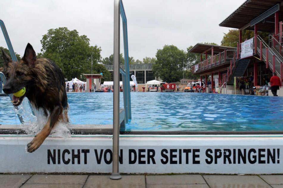 Der Schäferhund Ghanima verlässt das Becken mit seinem Ball.