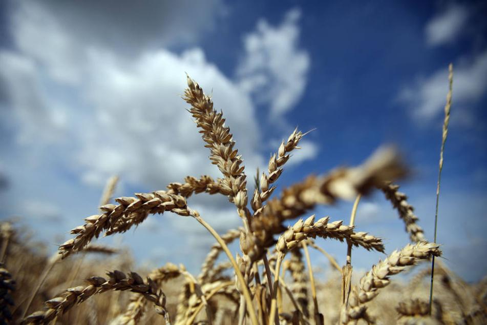 Die ungewöhnlich starke Trockenheit gepaart mit extremer Hitze und starkem Wind setzt allen Kulturen auf den Feldern erheblich zu.