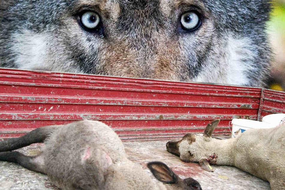 Jüngst hatte der Jagdverband von der Politik ein schnelles Handeln bezüglich Umgang mit dem Wolf gefordert. (Symbolbild)