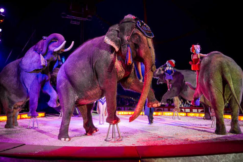 Bei der Zirkusvorstellung in Osnabrück stürzte eines der Tiere ins Publikum. (Symbolbild)