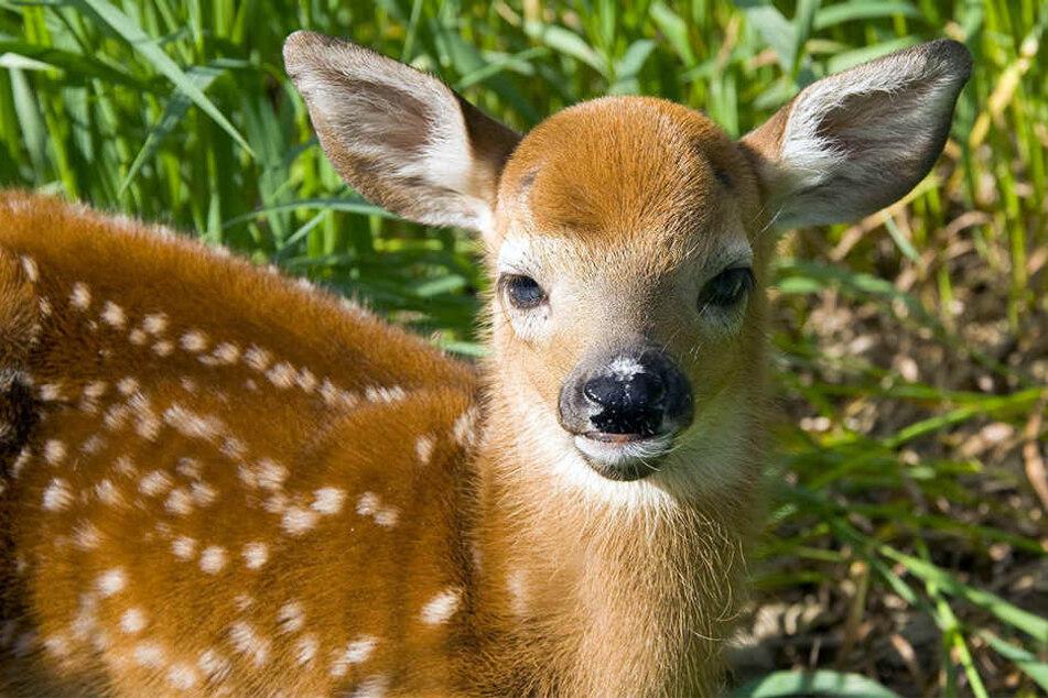 """In ihren ersten Lebenstagen sind Rehkitze """"Ducker""""."""