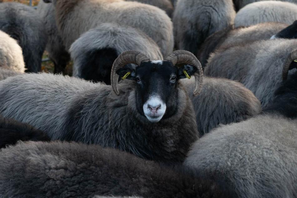 Ein schwarzes Schaf blickt beim Grasen aus seiner Heidschnucken-Herde auf.