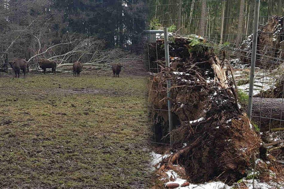 In einigen Gehegen sind Bäume umgestürzt, auch Zäune wurden beschädigt. (Bildmontage)