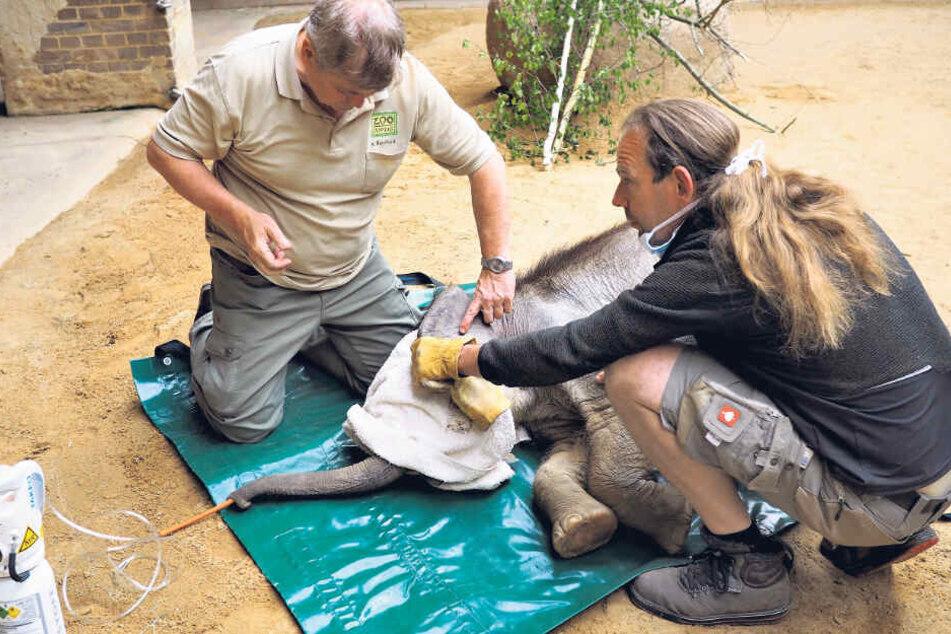 Nach der Nabelbruch-Operation bereiten Zootierarzt Dr. Andreas Bernhard (l.) und Bereichsleiter Thomas Günther das Aufwachen vor.
