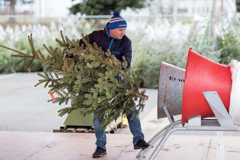 So werden Weihnachtsbäume wohnzimmerfertig verpackt.
