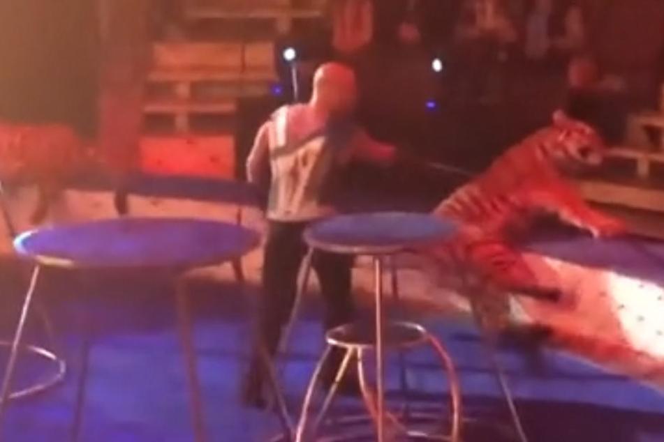 Grausam! Tiger kollabiert während Zirkus-Show und wird trotzdem weiter gequält