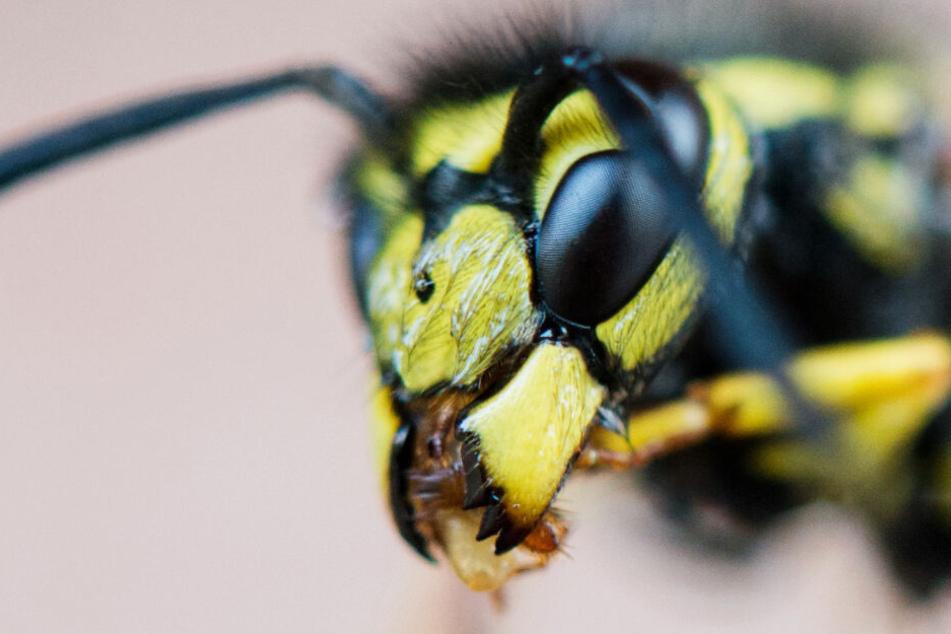 Das Foto aus dem Jahr 2015 zeigt den Kopf einer Wespe als Nahaufnahme.