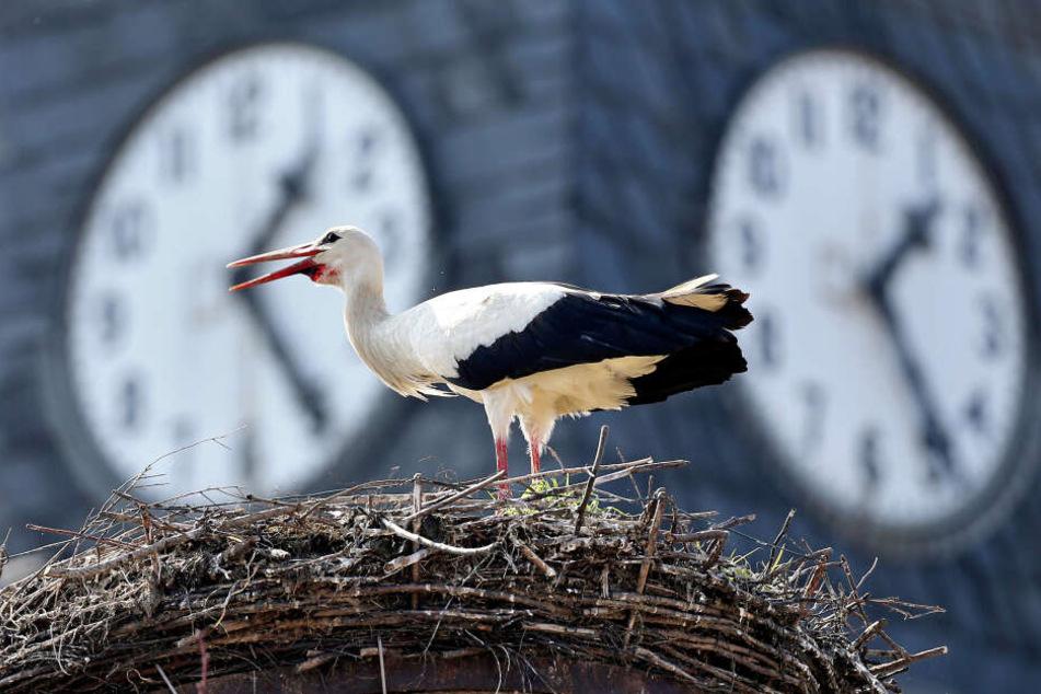 Müssen unsere Störche um ihre Nester fürchten, wenn sie aus dem Winterquartier heim nach Sachsen kommen?