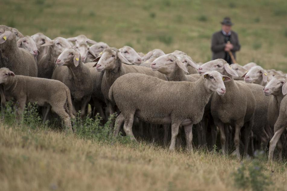 Die Schafe waren zuvor aus ihrem Gehege entkommen (Symbolfoto).