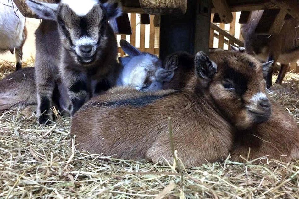 Der Chemnitzer Tierpark kann sich derzeit über elf Zwergziegen-Babies freuen.