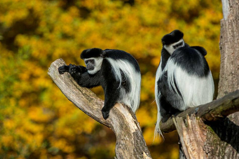 Wie trostlos ist das denn? Ausgerechnet die Zoo-Maskottchen haben noch keine gönnerhaften Paten: Guereza-Affen im Zoo Dresden.