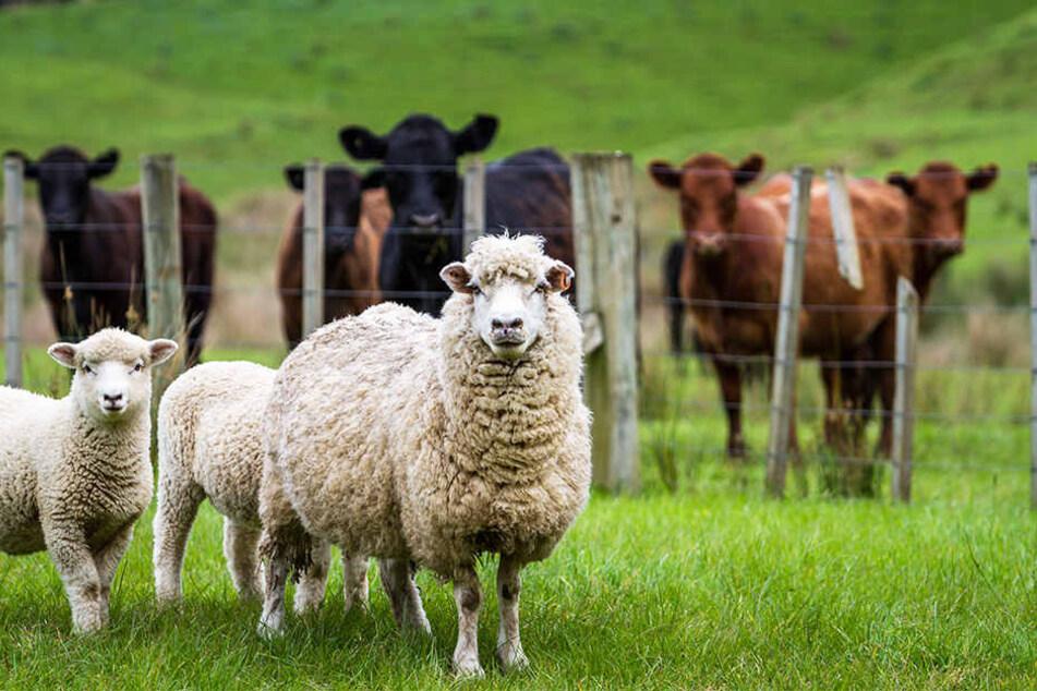Vor allem Rinder- und Schafherden sind bedroht.