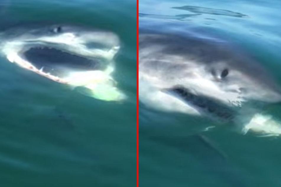 Urplötzlich schnappte der Weiße Hai zu.