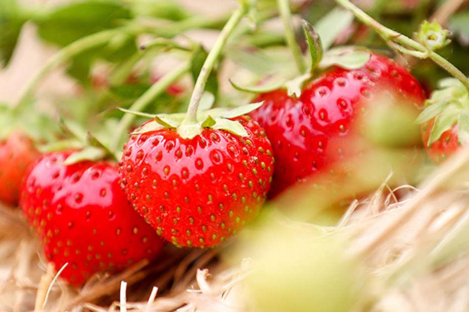 Die Bauern erwarten für dieses Jahre eine gute Erdbeerernte. Es sei bislang schön warm, das tue dem Obst gut, so ein Sprecher vom Landesverband Sächsisches Obst.