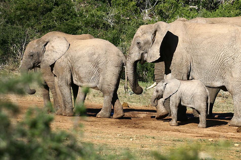 Wegen Wilderei entwickelt: Viele Elefanten haben keine Stoßzähne mehr!