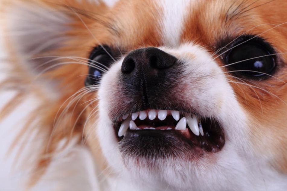 Hundeerziehung: Vorsicht, wenn Bello einen auf Rudelführer macht