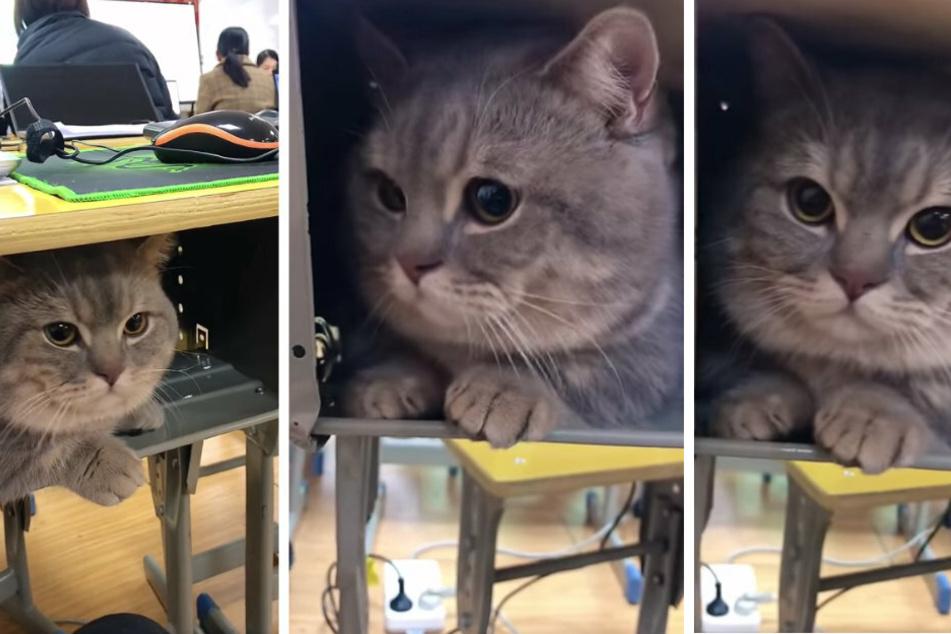 Wie niedlich! Eine Chinesin brachte ihren Kater Ba Dun kurzerhand mit in die Universität. Sie versteckte ihn heimlich unter ihrem Tisch.