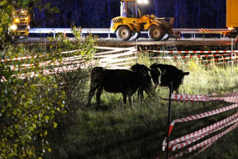 Tiertransporter kippt um: Kühe auf der Fahrbahn und zwei Schwerverletzte