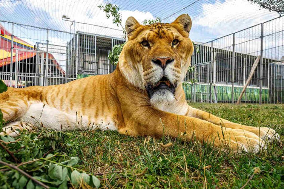 Der Liger macht seinem Namen alle Ehre: Die Mischung aus Löwe und Tiger liegt gelassen in seinem Außen-Gehege.