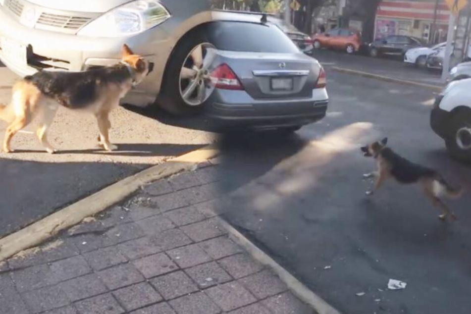 Verstoßener Hund läuft verzweifelt Familie nach