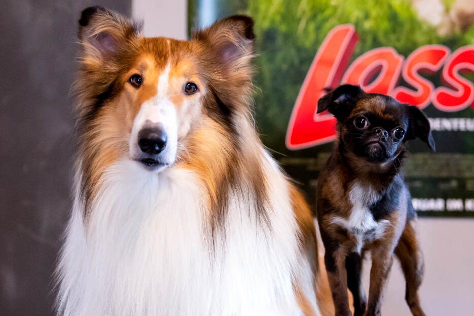 Die Filmhunde Bandit (l) und Mokka aufgenommen auf der Film-Tier-Ranch.