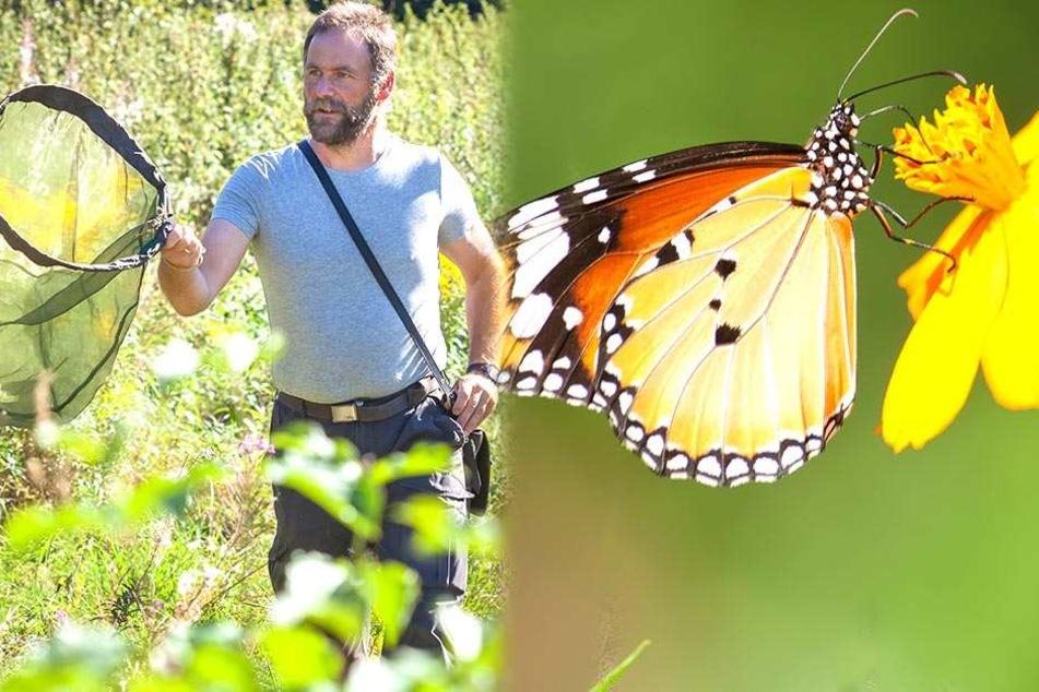 Experten schlagen Alarm! Schmetterlinge sterben in Sachsen aus