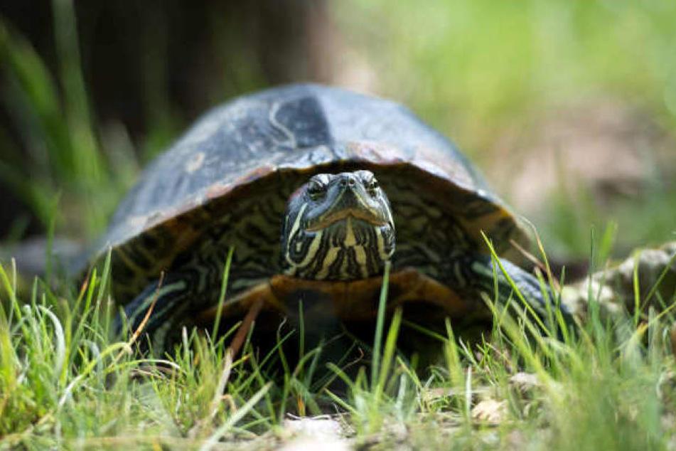 Die Schildkröte wurde dem Tierschutzverein übergeben. (Symbolbild)