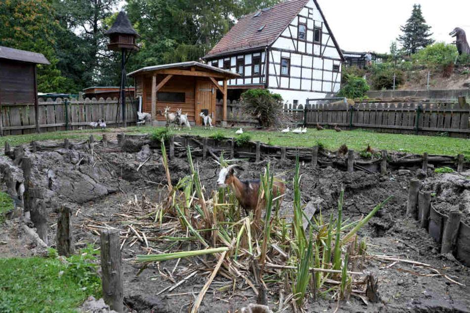 Komplett ausgetrocknet, sodass die Ziegen am saftigen Schilf knabbern konnten: der kleine Teich im Tiergehege Glauchau.