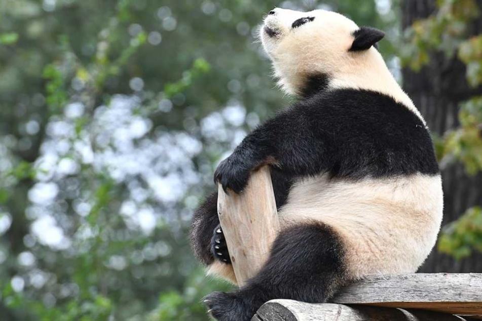 Tierschützer sorgen sich um das auffällige Verhalten von Meng Meng.