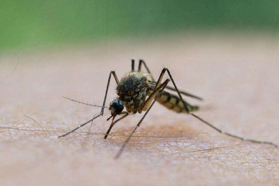 Eine Stechmücke saugt Blut aus dem Arm eines Mannes. (Symbolbild)