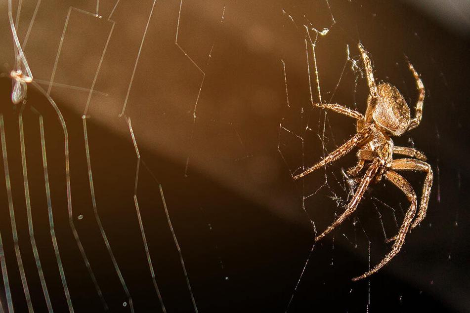 Bei Menschen mit Spinnenphobie lösen die Tiere besonders große Ängste aus. (Symbolbild)