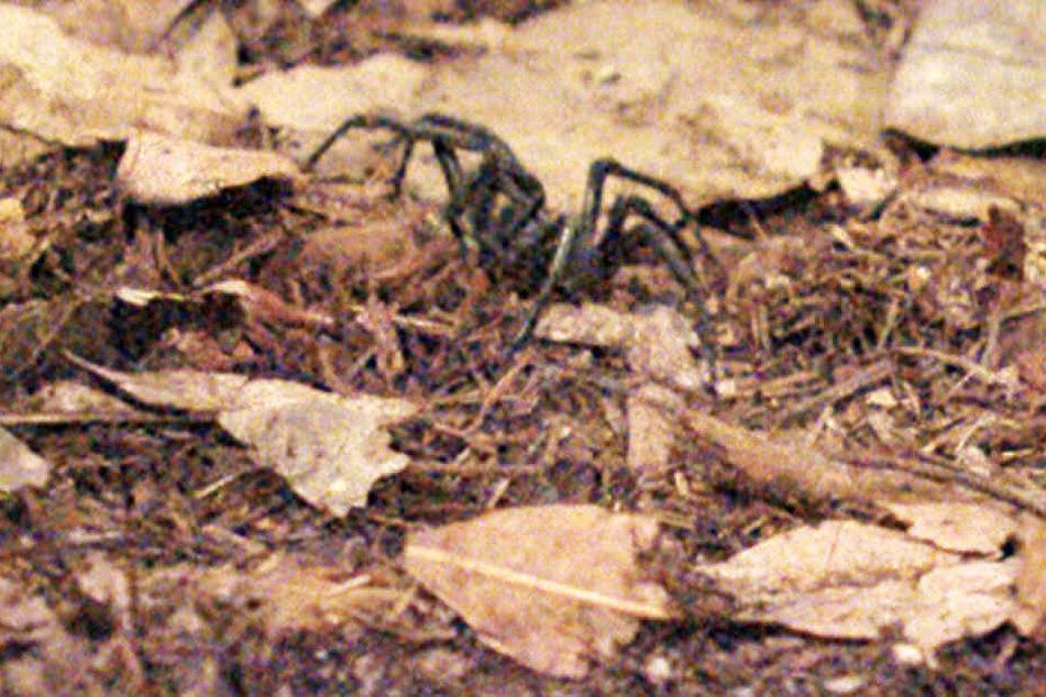 Am Abend verirrte sich die giftigste Spinne Australiens ins Camp.