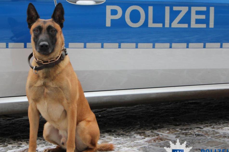 """Polizeidiensthund """"Buk"""" ist eine echte Spürnase."""