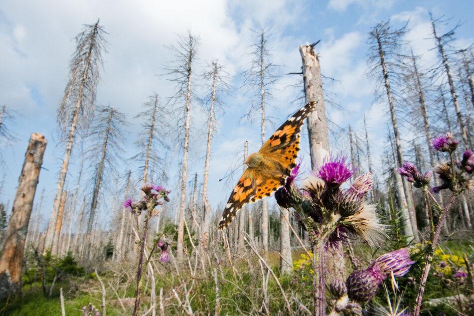 Umweltpolitik: Ein Schmetterling sitzt vor einem durch den Borkenkäfer zerstörten Fichtenwald.