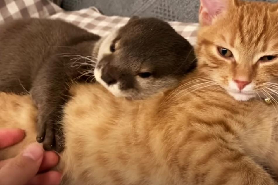 Otter Sakura und Katze Mochi mögen sich offenbar sehr.