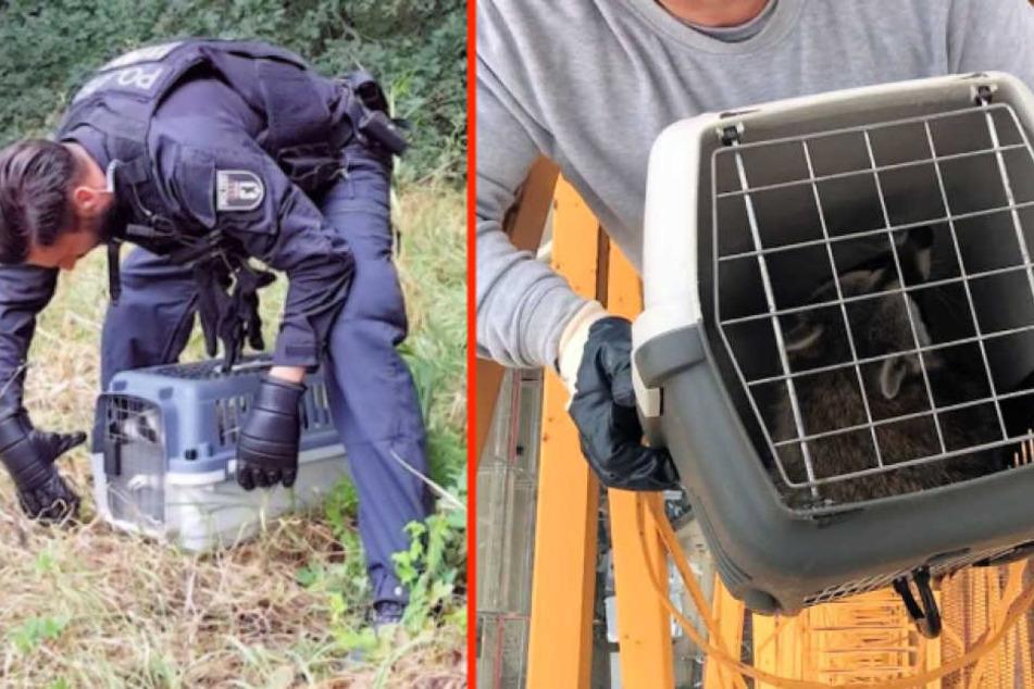 Der Waschbär wird aus der Box in die Freiheit entlassen, nachdem er zuvor von einem 40-Meter-Kran geholt wurde. (Bildmontage)