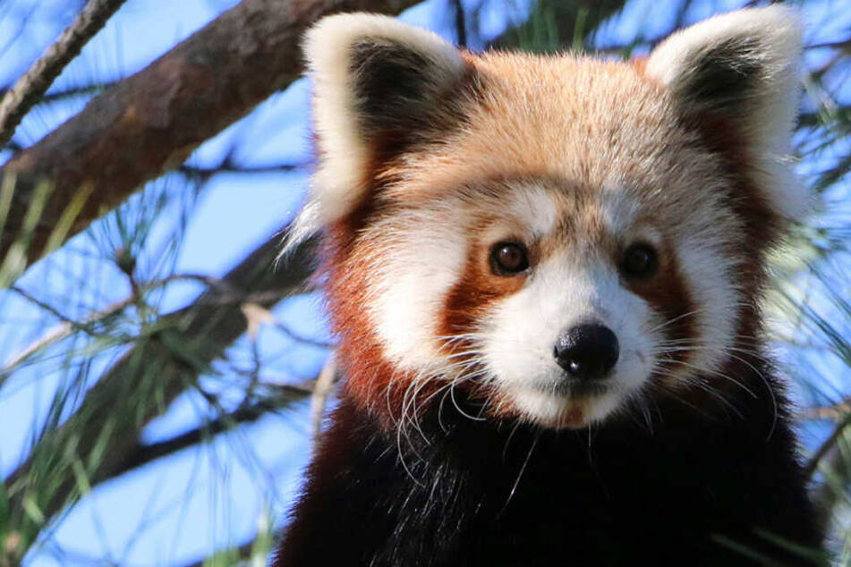 Filmreife Flucht aus dem Zoo: Wo steckt dieser Kleine Panda?