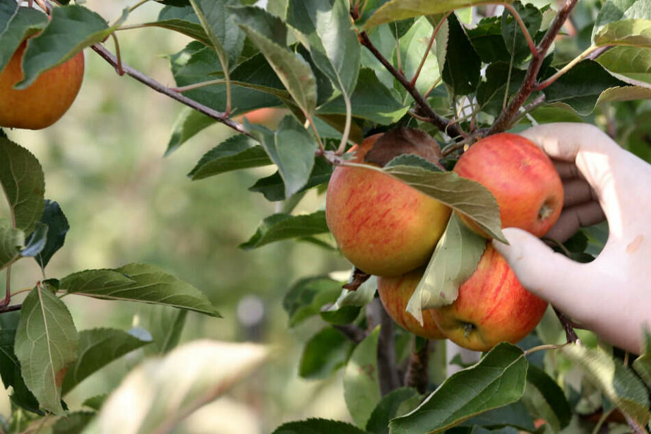 Apfelernte im Rheinland fällt 2019 schlechter aus
