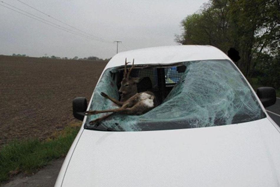 Zwischen Großenhain und Skassa durchschlug ein Rehbock die Windschutzscheibe dieses VW Caddys.