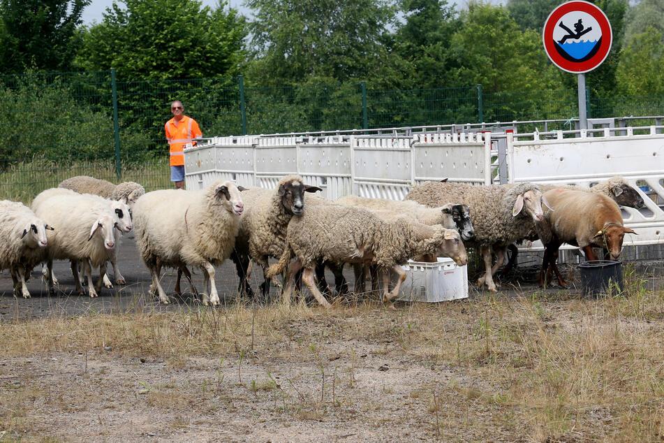 Die Schafe sollen als natürliche Rasenmäher den Bewuchs in den Autobahnentwässerungsanlagen kurz halten.
