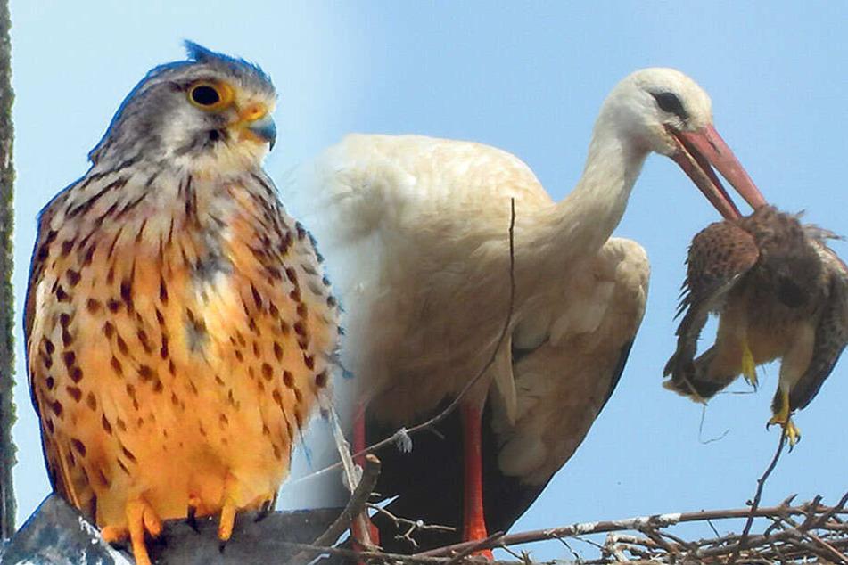 Spieß umgedreht! Storch frisst Falke und damit seinen Untermieter