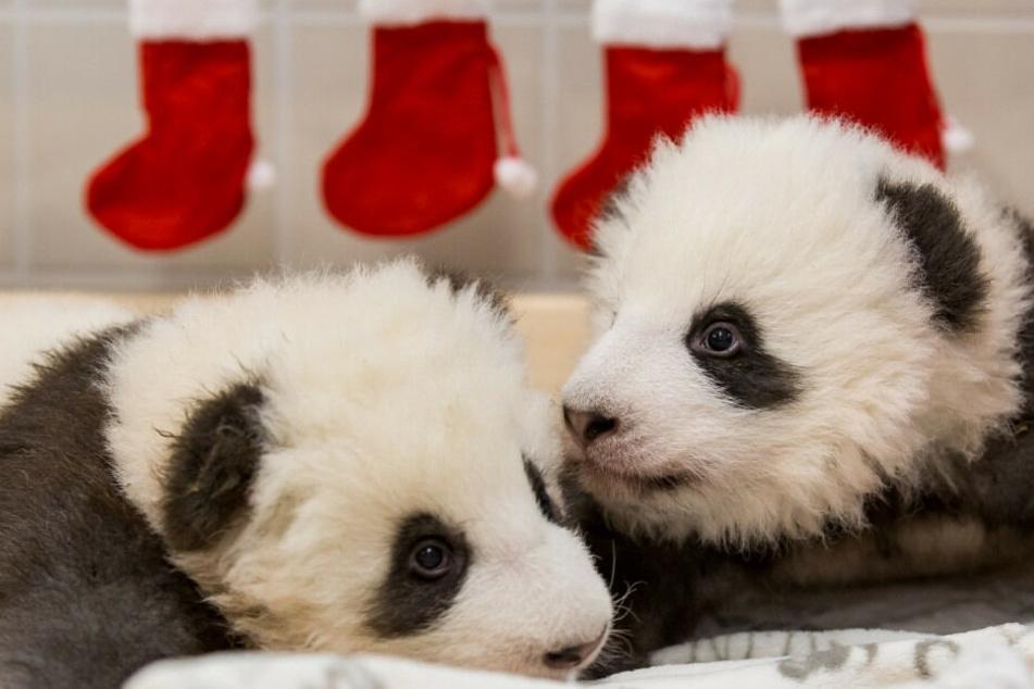 Die beiden Panda-Jungtiere wiegen inzwischen schon fast sechs Kilo.