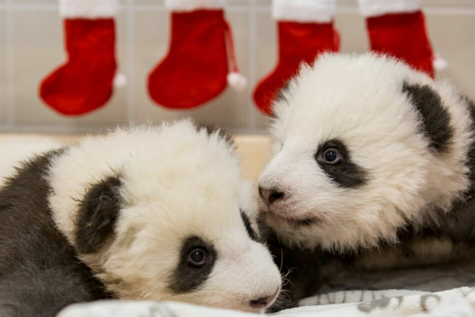 Namen stehen fest: Berliner Panda-Zwillinge sind Jungs