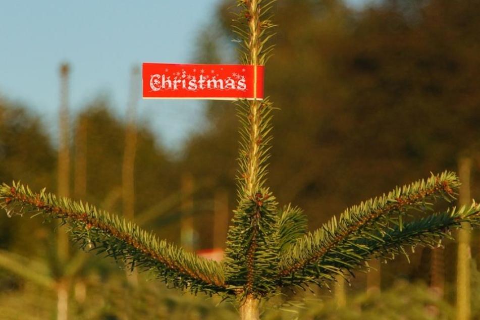 Wer etwas für die Umwelt tun will, kauft einen Weihnachtsbaum aus der Region. So entfallen lange Transportwege.