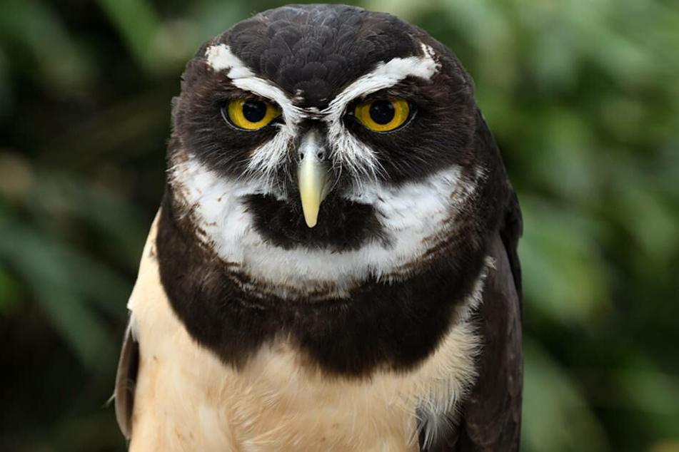 """Schau mir in die Augen: Brillenkauz """"Escobar""""."""