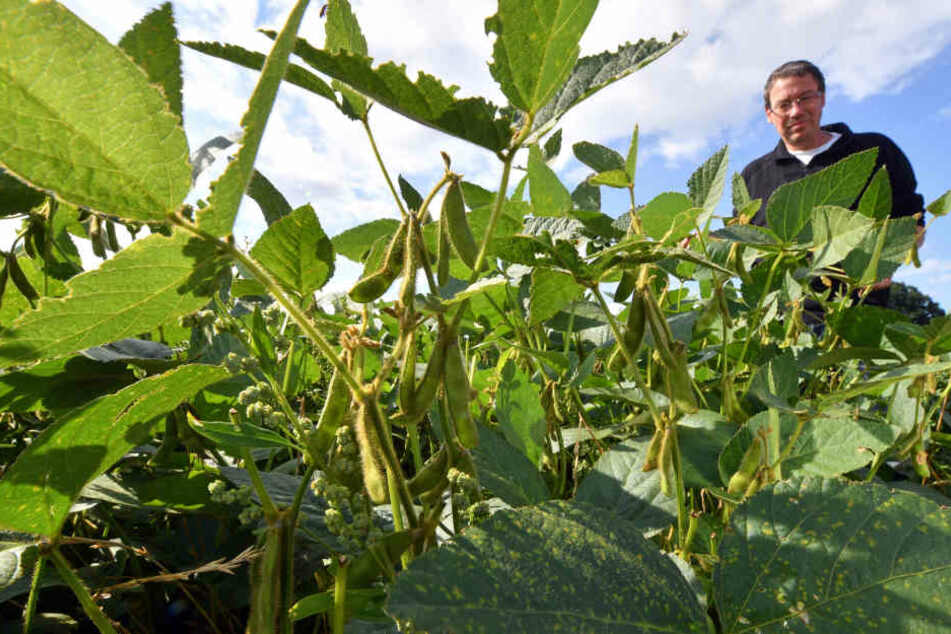 Thomas Sander auf einem Sojabohnen-Feld bei Waldenburg