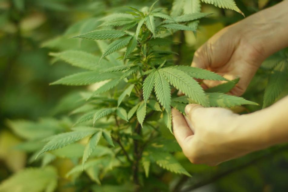 Cannabis Konsumieren